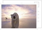Sun Rising Behind Polar Bears by Corbis