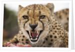 Snarling Cheetah by Corbis