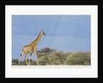 Giraffe in Etosha National Park by Corbis