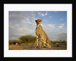 Cheetah at Sunset by Corbis