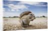 Cape Ground Squirrel in Etosha National Park by Corbis