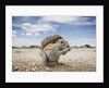 Cape Ground Squirrel in Etosha National Park by Corbis