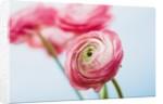 Pink ranunculus by Corbis