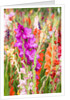 Gladioli Growing in a Garden in Germany by Corbis