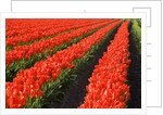 Rows of Red Tulips in Bloom in Skagit Valley by Corbis
