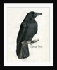 Carrion Crow Illustration by Corbis