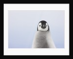 Emperor Penguin Chick by Corbis