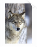 Gray Wolf by Corbis