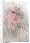 Japanese Macaque by Corbis