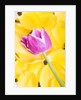 Purple Tulip on Yellow Tulip Petals by Corbis