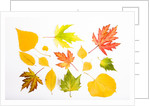 Fall Leaves by Corbis