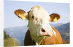 Cow with Ear Tags by Corbis
