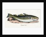 Common Cod Illustration by Corbis