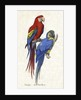 Aracangua and Blue and Yellow Macaw Illustration by Corbis