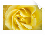 Yellow Rose by Corbis