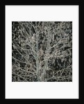Tree with Seedpods at Night by Corbis