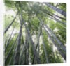 Bamboo Forest by Corbis