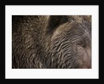 Two Year Old Brown Bear in Katmai National Park by Corbis