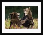Brown Bears Sparring in Meadow at Kukak Bay by Corbis