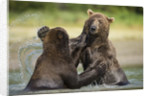 Brown Bears Sparring in Stream at Kukak Bay by Corbis