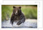Brown Bear Fishing for Spawning Salmon at Geographic Harbor by Corbis