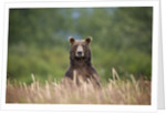 Grizzly Bear Standing Over Tall Grass at Kukak Bay by Corbis