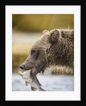 Grizzly Bear Carrying Spawning Salmon at Geographic Harbor by Corbis