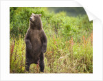 Brown Bear Cub Standing Upright at Kinak Bay by Corbis