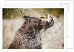 Brown Bear Catching Spawning Salmon from Stream at Kinak Bay by Corbis