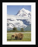 Grizzly Bear Eating Sedge Grass in Meadow at Hallo Bay by Corbis