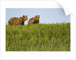Grizzly Bears in Meadow at Hallo Bay by Corbis