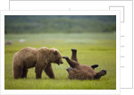 Brown Bears Sparring in Meadow at Hallo Bay by Corbis