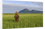Grizzly Bear Standing Upright in Tall Grass at Hallo Bay by Corbis