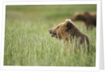 Grizzly Bears Resting in Meadow at Hallo Bay by Corbis