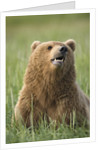 Grizzly Bear Resting in Meadow at Hallo Bay by Corbis