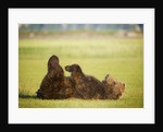 Brown Bear Lying on Back With Feet Raised at Hallo Bay by Corbis