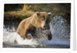 Brown Bear Running Through River at Kinak Bay by Corbis