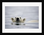 Swimming Polar Bear at Half Moon Island in Svalbard by Corbis
