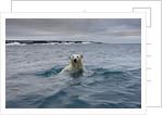 Swimming Polar Bear at Half Moon Island in Svalbard by Corbis