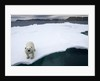 Polar Bear on Sea Ice at Svalbard on Summer Evening by Corbis