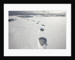 Polar Bear Tracks in Fresh Snow at Spitsbergen Island by Corbis