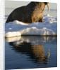Walrus on Iceberg Near Kapp Lee in Midnight Sun by Corbis