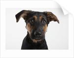Dog Looking at Camera by Corbis