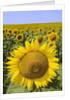 Field of Sunflowers by Corbis