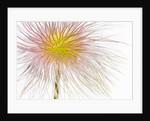 Fruit of an Alpine pasqueflower by Corbis
