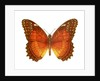 A Lacewing Butterfly by Corbis