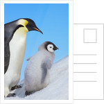 Emperor penguin with chick by Corbis