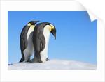 Emperor penguins by Corbis