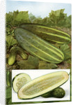 Illustration of cucumbers on the vine by Corbis