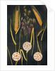 Illustration of three types of grain plants by Corbis